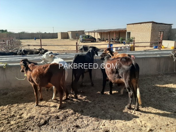 kheeray-wachay-available-for-sale-for-meat-in-karachi-big-4
