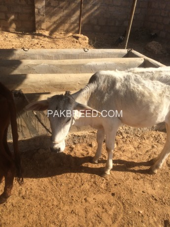 kheeray-wachay-available-for-sale-for-meat-in-karachi-big-2