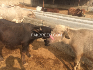 Paday kattay available for sale in Karachi