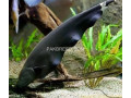 12-black-ghost-fish-for-sale-small-0