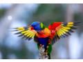 beautiful-swinson-lorikeet-chicks-small-4