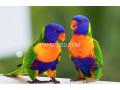 beautiful-swinson-lorikeet-chicks-small-0