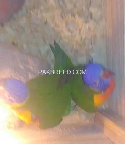 beautiful-swinson-lorikeet-chicks-big-3