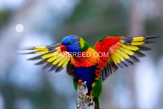 beautiful-swinson-lorikeet-chicks-big-4