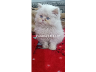 Extremely Beautiful Punch Face WHITE PERSION FEMALE KITTEN