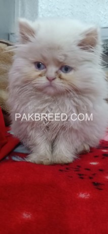 extremely-beautiful-punch-face-white-persion-female-kitten-big-1