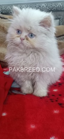 extremely-beautiful-punch-face-white-persion-female-kitten-big-0