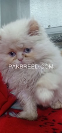 extremely-beautiful-punch-face-white-persion-female-kitten-big-3