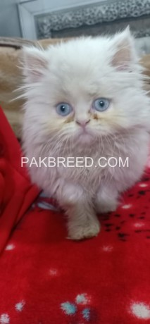 extremely-beautiful-punch-face-white-persion-female-kitten-big-4