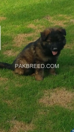 german-shapheard-long-hair-pups-available-for-sale-big-1