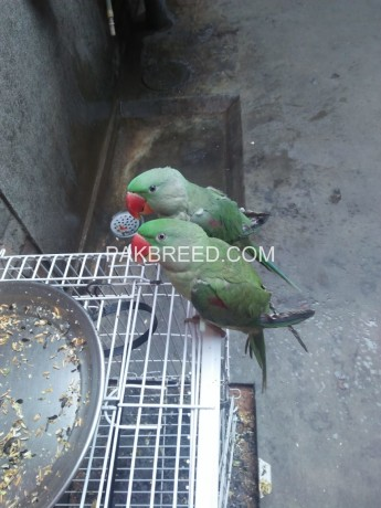 raw-parrot-pairs-big-1