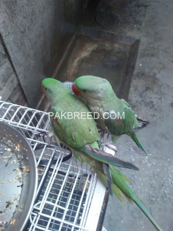 raw-parrot-pairs-big-0