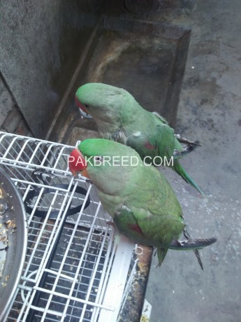 raw-parrot-pairs-big-2