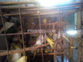 bajri-parrots-for-sale-small-3