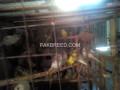 bajri-parrots-for-sale-small-2