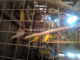 Bajri parrots for sale .