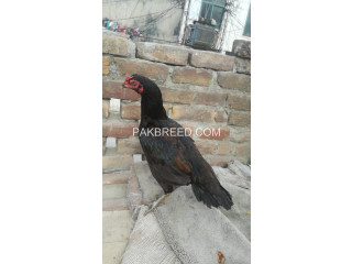 Aseel black hen for sale