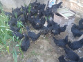 australorps-breeders-on-heavy-discount-small-2