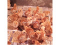 rir-and-austrolorp-chicks-small-1