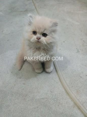 persian-kitten-big-4