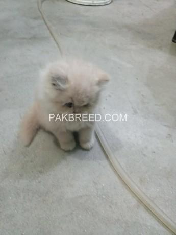 persian-kitten-big-3