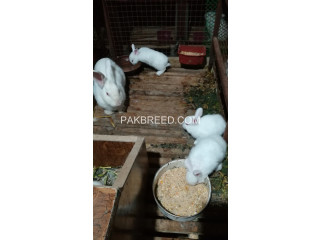 Rabbit Bunnies for sale