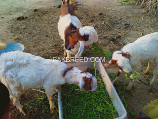 3 male bakra for sale