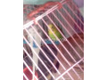 budgies-parrot-small-4