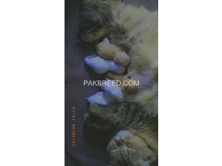 White and brown pouch face triple Cort Persian kittens