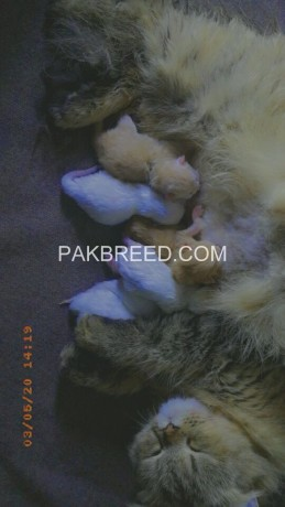 white-and-brown-pouch-face-triple-cort-persian-kittens-big-0
