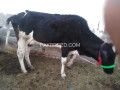 cow-small-2