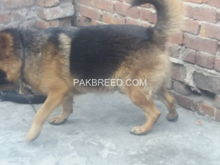 GSD LOOKING FOR NEW HOME