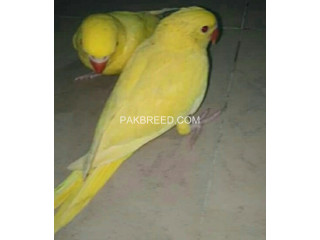 Yellow Ringneck Pair