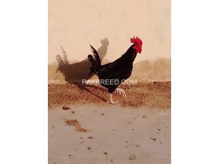 Australorp rooster