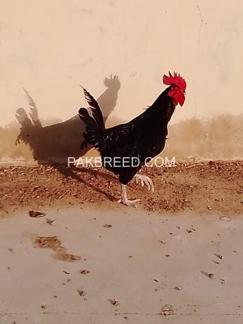 australorp-rooster-big-0