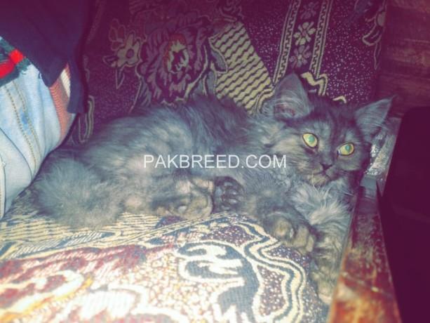 tripple-coated-cute-loving-persian-big-2