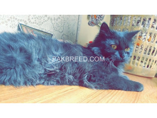 DArk BLack cute persian