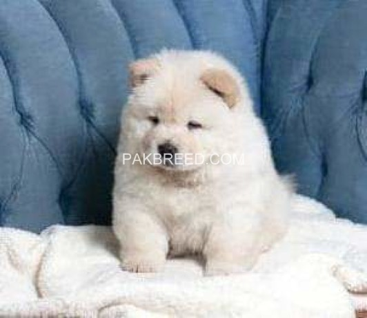 chow-chow-puppy-for-sale-big-0