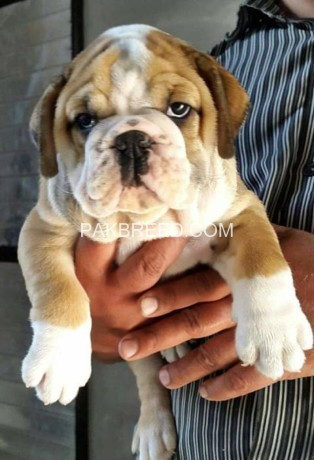 british-bull-dog-for-sale-big-0