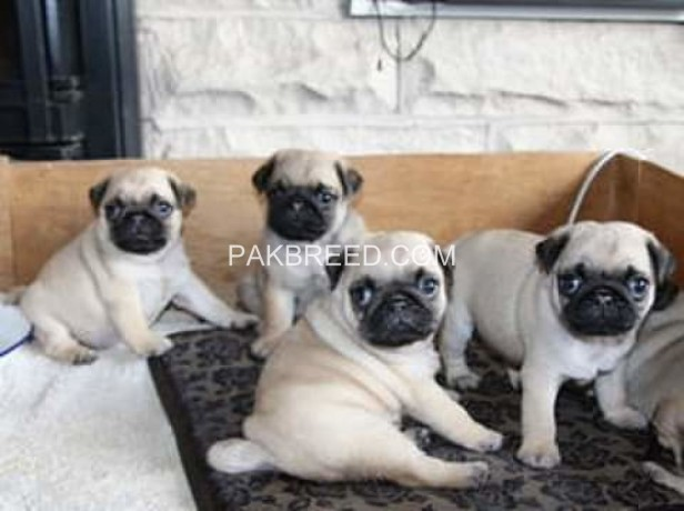 pug-puppies-for-sale-big-0