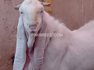 Excellent Quality Gulabi Breeder Available For Sale