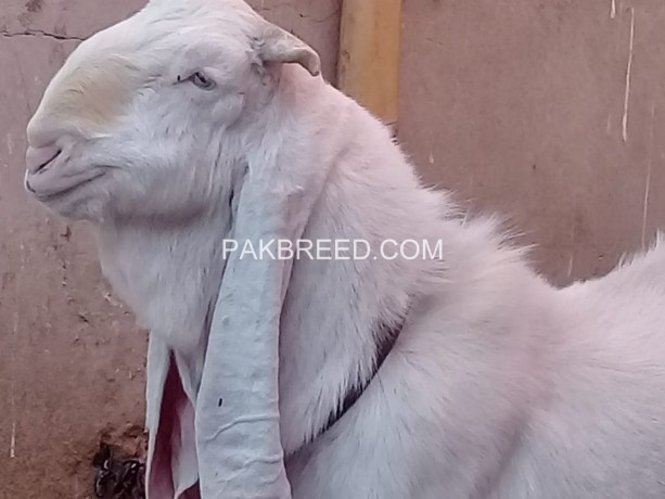 excellent-quality-gulabi-breeder-available-for-sale-big-2