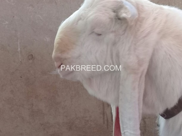 excellent-quality-gulabi-breeder-available-for-sale-big-3