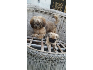 Shitzu female pup available
