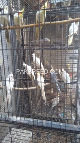 cocktail-eno-red-eyes-pied-pearl-common-whitecream-grey-green-ringneck-big-0
