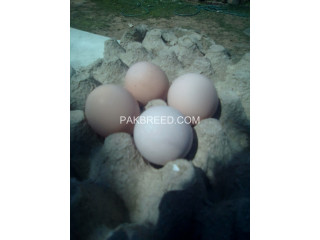 Silver Pheasant Eggs . Fresh eggs with Fertility
