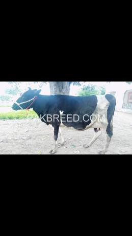 beautiful-and-health-pregnant-cow-for-saleholstein-friesian-cattle-big-2