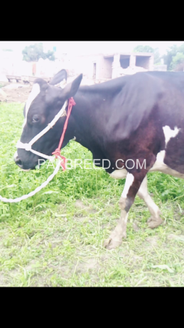 beautiful-and-health-pregnant-cow-for-saleholstein-friesian-cattle-big-0