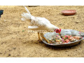 2-desi-rooster-small-1