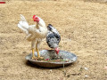 2-desi-rooster-small-0